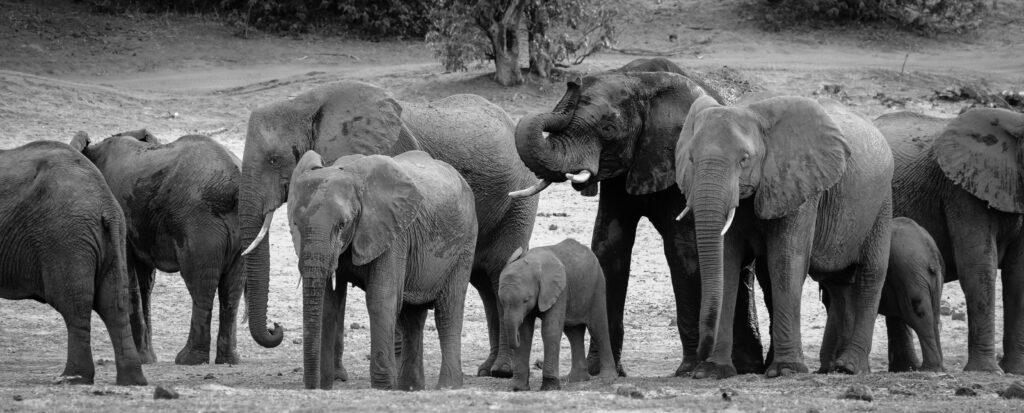 Eléphants au bord du Chobé, Botswana