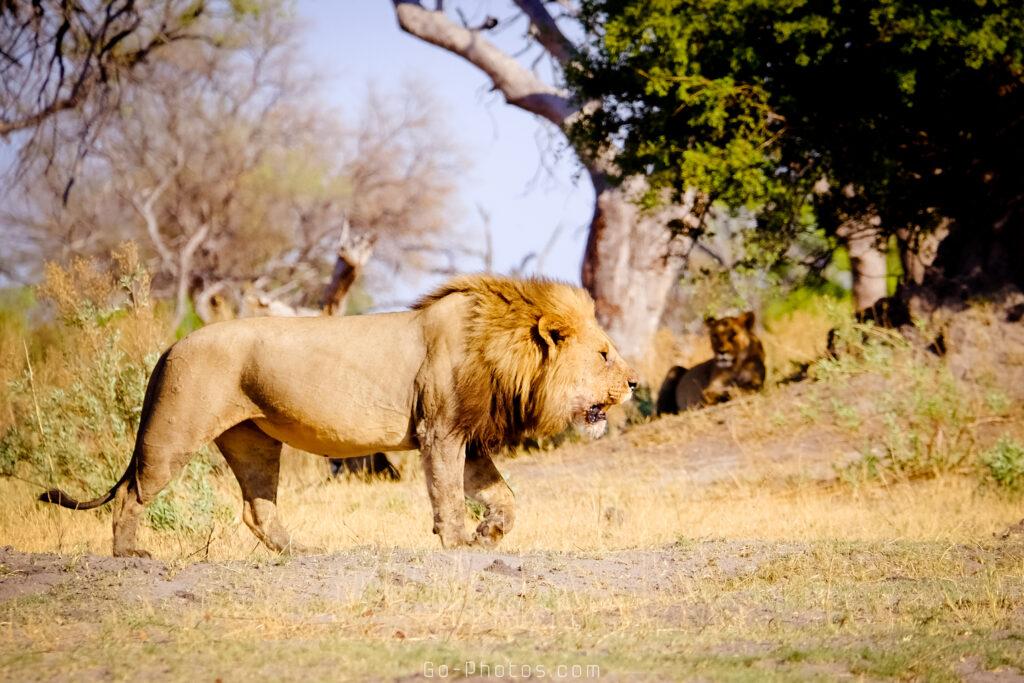 Meute de lions