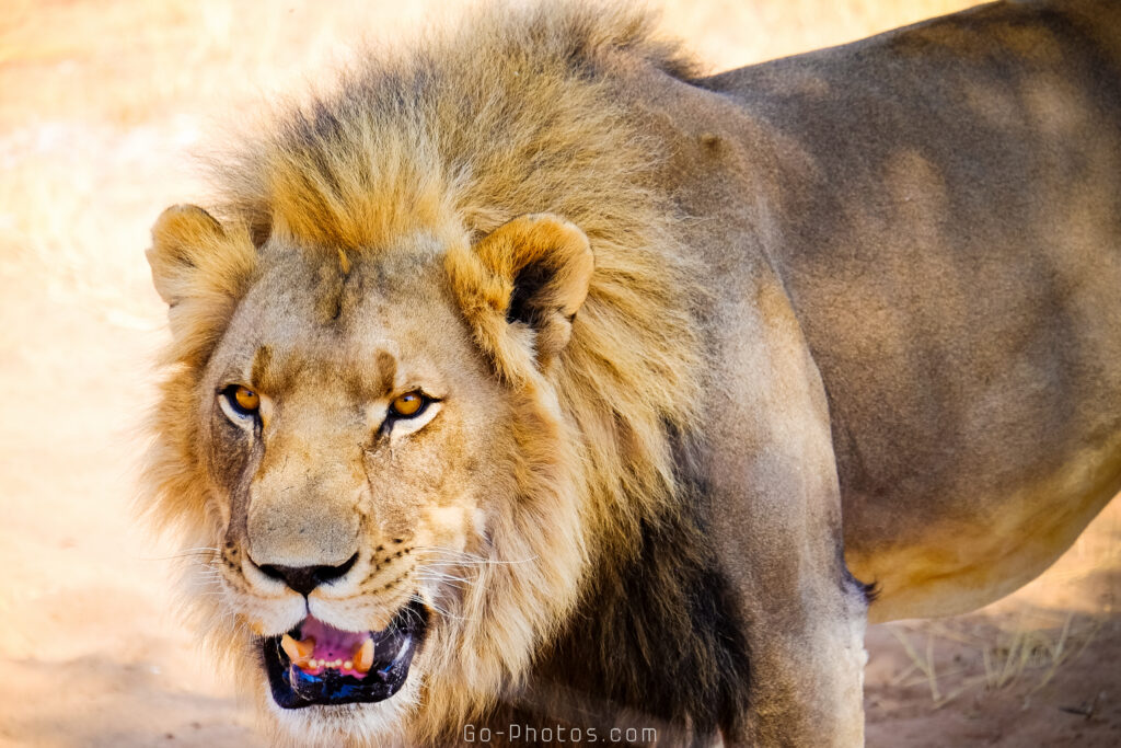 Lions, Harnas Foundation, Namibie