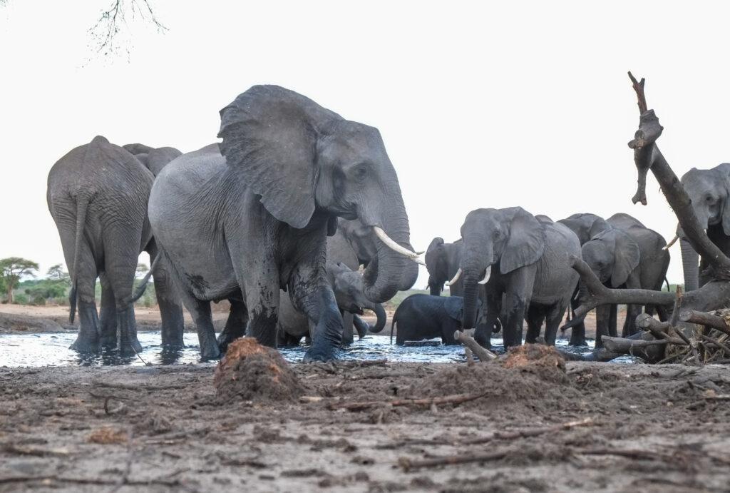 Waterhole Elephants