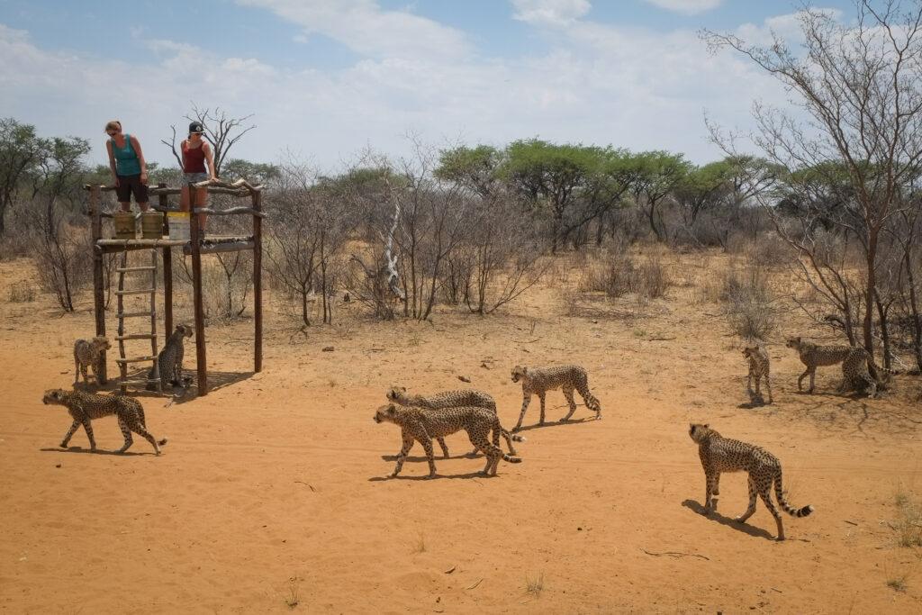 Guépards  Harnas Foundation, Namibie